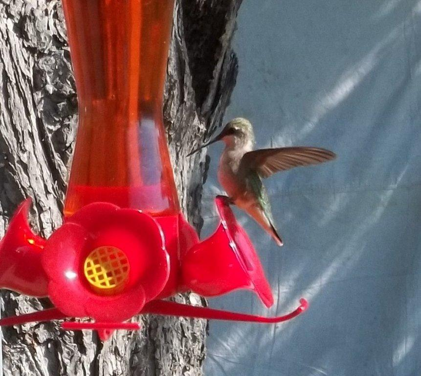 female hummingbird alights