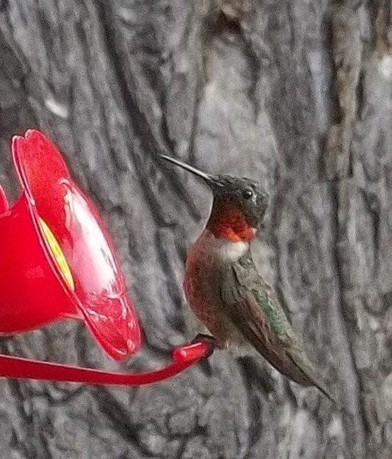 male hummingbird-close-up-jpg