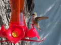 female hummingbird alights