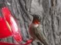 male hummingbird-close-up-jpg